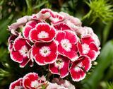 Beautiful carnation or pink flowers Stock Illustration