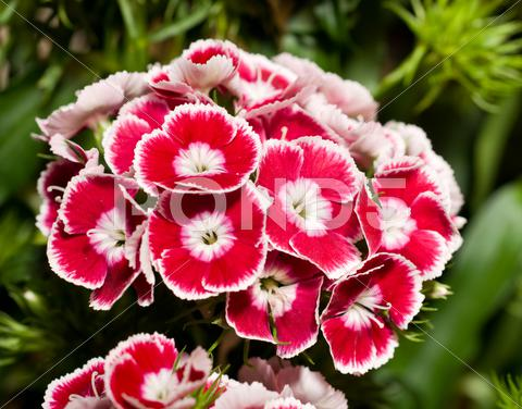 Stock Illustration of beautiful carnation or pink flowers