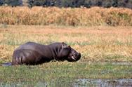 Stock Photo of wild hippopotamus in waterhole, mahango game park