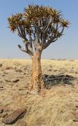quiver tree (aloe dichotoma) in the namib desert landscape - stock photo