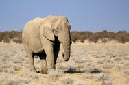 African elephant bull in etosha wildlife reserve Stock Photos
