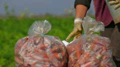 Stock Video Footage of Sacks Of Carrots