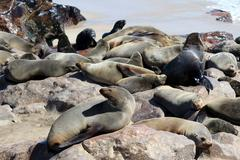 Colony of seals at cape cross reserve, atlantic ocean coast Stock Photos