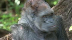 Western Lowland Gorilla, an Endangered Species. - stock footage