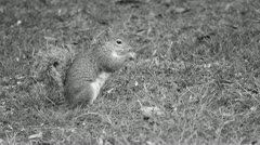 a squirrel walk black and white - stock footage