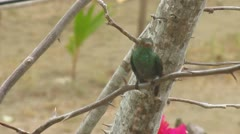 Humming-Bird (tounge) - stock footage