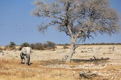 african elephant bull in etosha wildlife reserve - stock photo