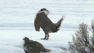 Sage grouse Stock Footage