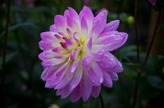 dahlia 'sandia melody' in bloom - stock photo