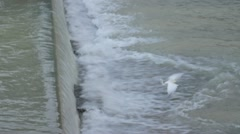 Egret is going against current and waiting for a weakened fish from upstream. Stock Footage