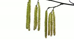 Catkins in the wind on white background Stock Footage