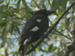Pied currawong, strepera graculina - zoom out Stock Footage