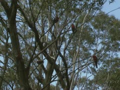 Crimson rosella, platycercus elegans, in eucalypus tree Stock Footage