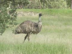 Emu, Dromaius novaehollandiae, standing in grassland. Stock Footage
