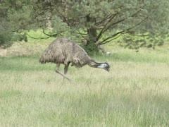 Emu, Dromaius novaehollandiae, walking in grassland. Stock Footage