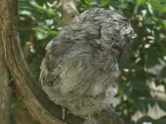 Tawny Frogmouth, podargus strigoides, in a tree. Stock Footage
