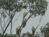 Stock Video Footage of sulphur-crested cockatoo, cacatua galerita in eucalyptus tree