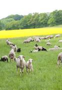 Sheep and Oilseed Rape Stock Photos