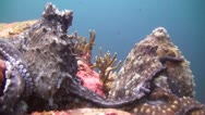 Stock Video Footage of Mating Octupus, Clip 3 of 3