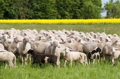 Sheep and Oilseed Rape - stock photo