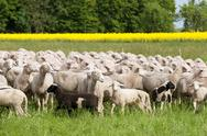 Stock Photo of Sheep and Oilseed Rape