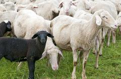 Black Lamb in the Herd - stock photo