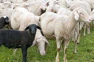 Stock Photo of Black Lamb in the Herd