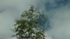 Bamboo tree Stock Footage