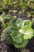 Autumnal cabbage leaves - stock photo