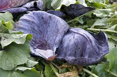 Red cabbage leaves - stock photo