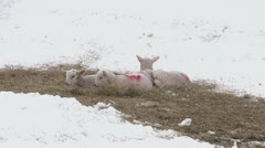 Lambs in a snow covered field on the Stiperstones Stock Footage