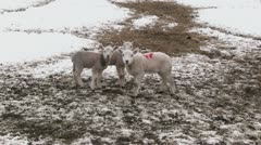 Lambs grazing in a snow covered field Stock Footage