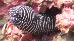Stock Video Footage of Striped Moray eel