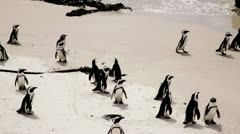 African Penguins on beach Stock Footage