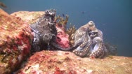 Stock Video Footage of Mating Octupus, Clip 1 of 3
