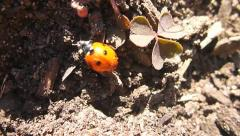 Lady Bug on the Move Stock Footage