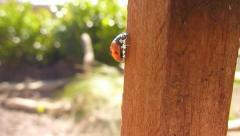 Climbing Lady Bug Close Up Stock Footage