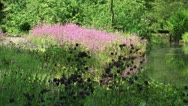Stock Video Footage of Marshland with Columbine and Ragged Robin in bloom