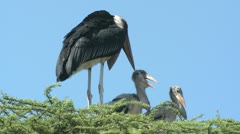 Marabou Stork 2 Stock Footage