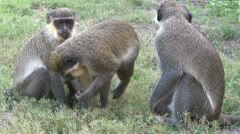 A family of Callithrix monkeys or Green monkeys. Stock Footage