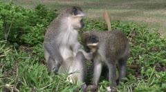 Two Callithrix monkeys or Green monkeys. Stock Footage