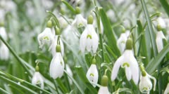 Snowdrops high key shallow dof with occasional snowflakes Stock Footage