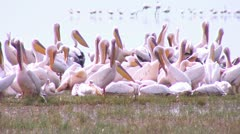 Flock of pelicans Stock Footage