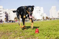 beauceron / australian shepherd running after dog chew toy - stock photo
