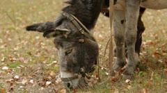 Two Donkeys Grazing - stock footage