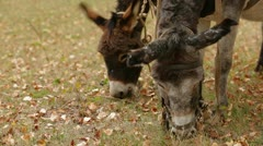 Two Grazing Donkeys Stock Footage