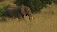 Elephant walk Stock Footage