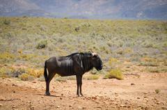 blue wildebeest antelope in african savanna - stock photo