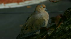 Mourning Dove Male Stock Footage