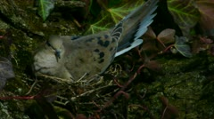 Mourning Dove Nesting Stock Footage